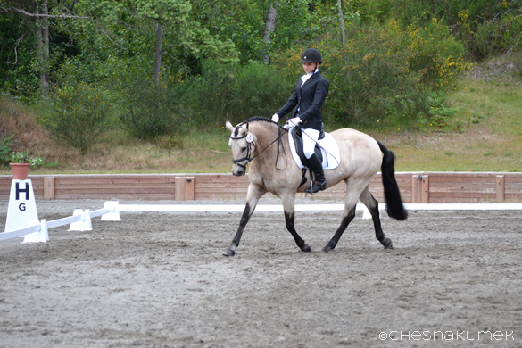 Buckskin colored pony doing three day eventing