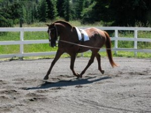 Lusitano horse trotting on lunge line