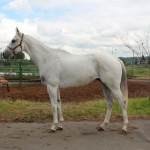 White thoroughbred horse
