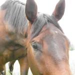 Bay horse close to camera