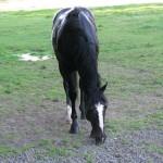 Bay horse grazing in field