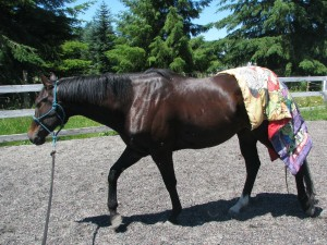 Horse with a sheet on its hindquarters