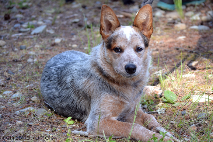 Young female blue heeler dog