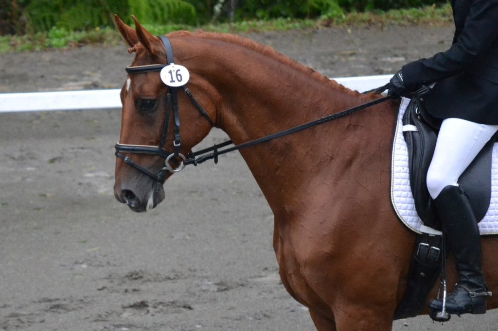 Profile shot of chestnut dressage horse