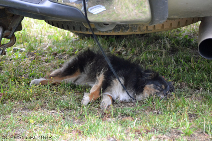 Sleeping miniature Australian Shepherd puppy