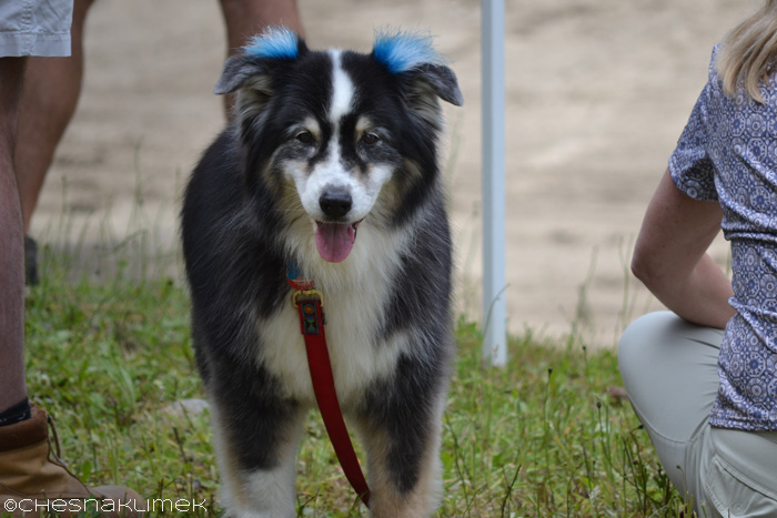 Dog wearing blue ear decorations