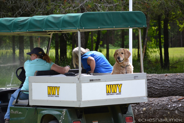 Golden Retriever riding in a horse show golf cart