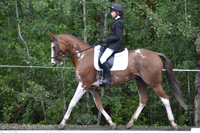 Paint horse performing dressage
