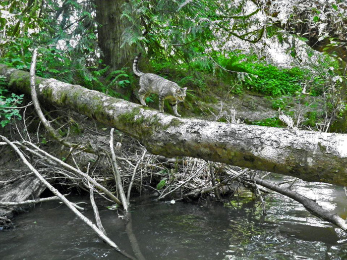 Cat walking on a log across a river