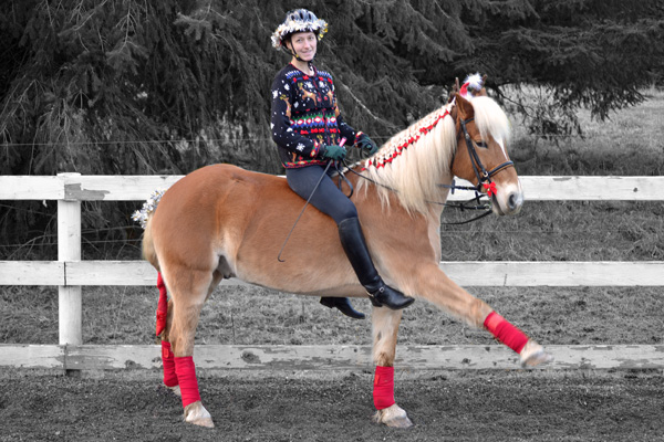 Haflinger horse in Christmas costume