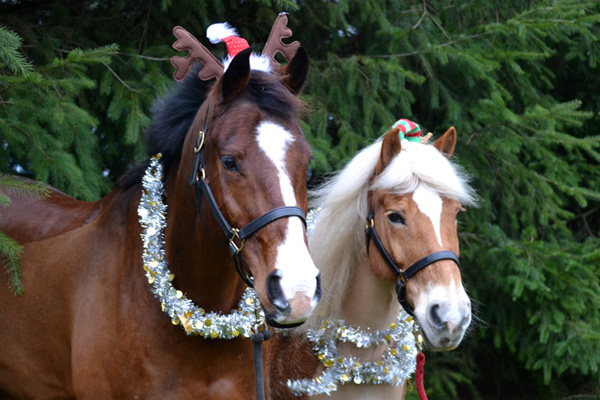 Two horses decorated for Christmas