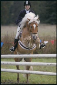 Haflinger horse show jumping