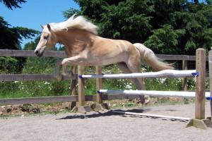 Haflinger jumping