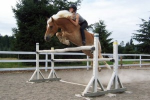 Haflinger jumping four feet