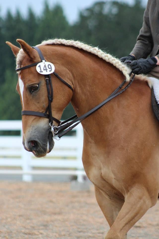 Haflinger horse profile