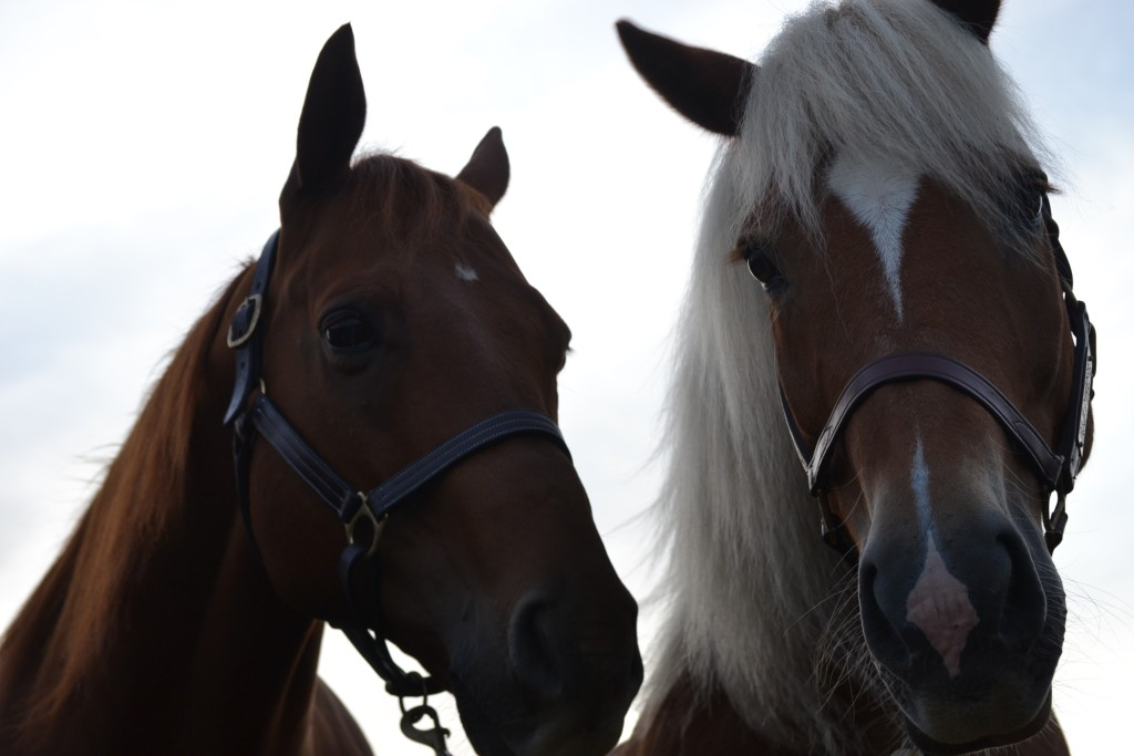 Thoroughbred and a Haflinger