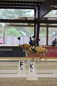 Haflinger doing working equitation dressage