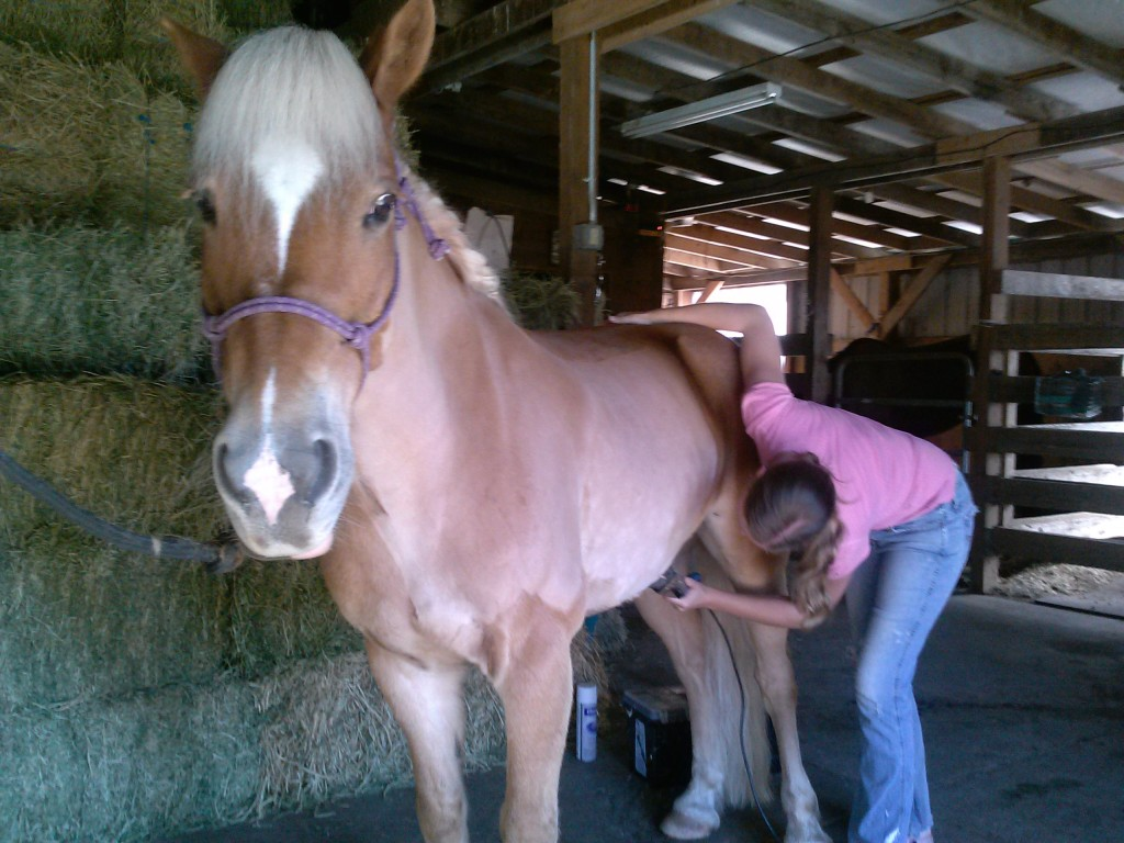 Haflinger getting clipped