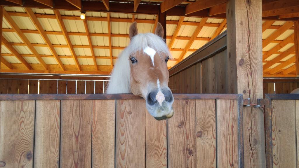 Haflinger in a stall