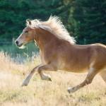 Galloping Haflinger horse
