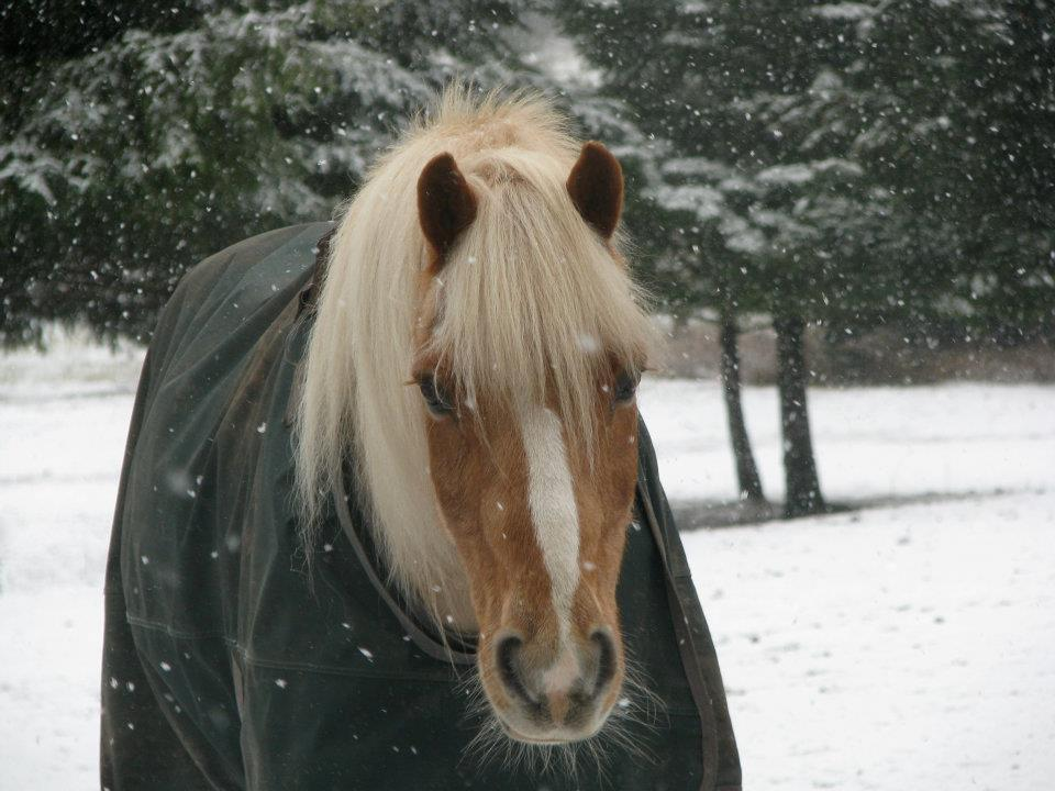 Haflinger gelding in the snow