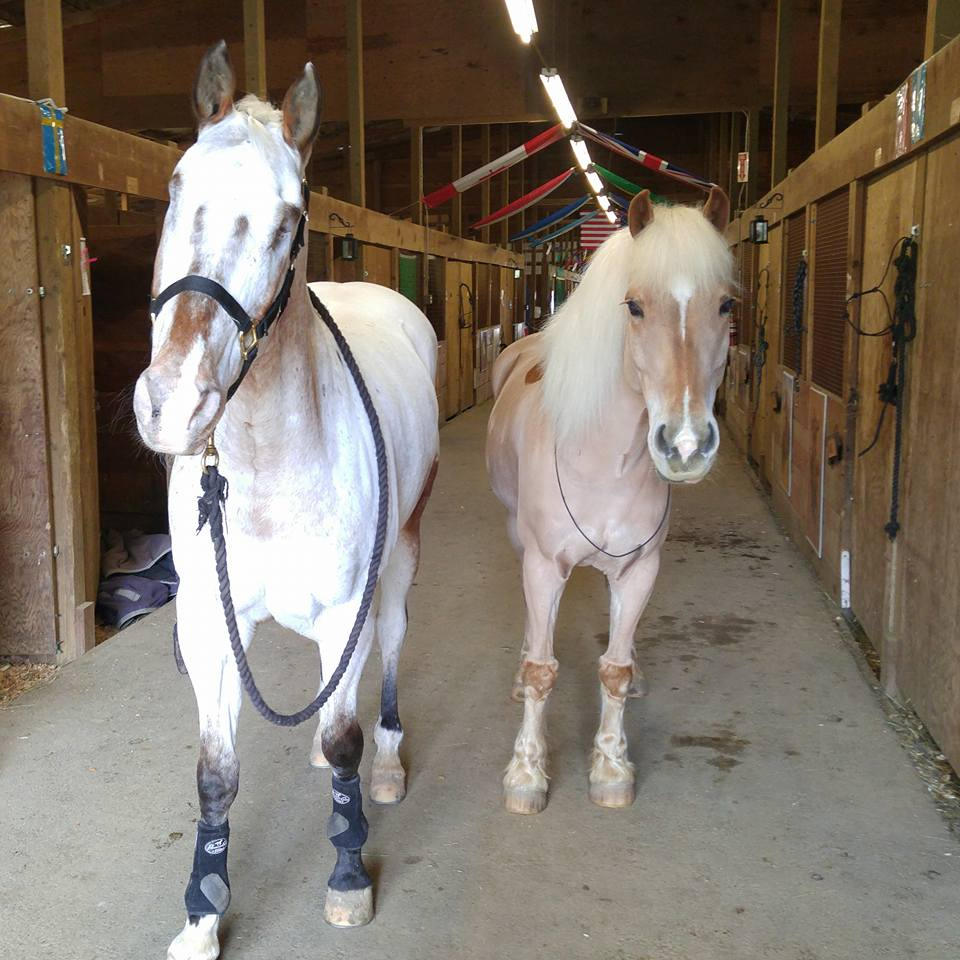 Endo the Blind horse and Haflinger pony Pippin