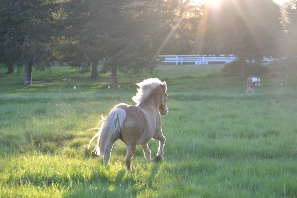 Elderly Haflinger galloping