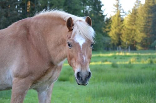 33 year old Haflinger pony